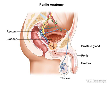 Help erection 🏆 penis How to